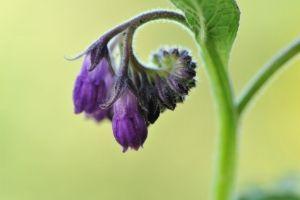 Beinwellpflanze Symphytum