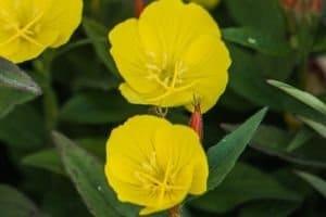 Oenothera biennis (Nachtkerze)